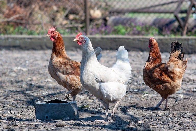 poules dans un poullailler